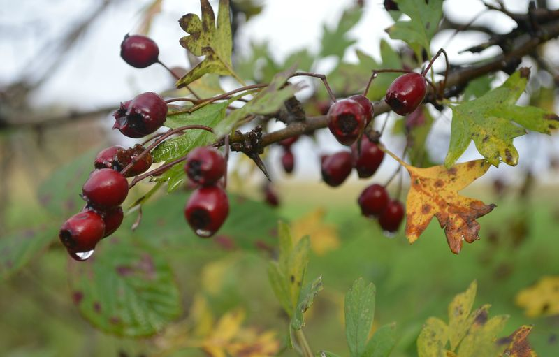 October berries edit